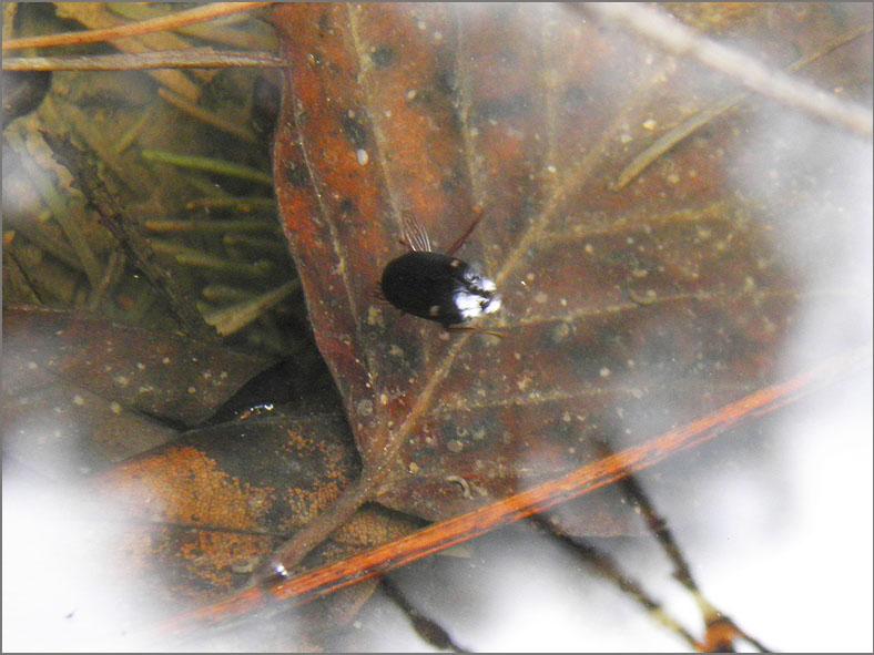 WAN_ZW_0001_zwemwants_naucoridae sp