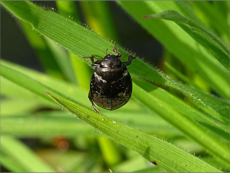 WAN_ZW_0011_zwemwants_ naucoridae sp