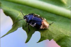 WAN_0316_dovenetelwants_tritomegas bicolor