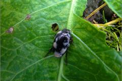 WAN_ZW_0015_zwemwants_ naucoridae sp