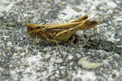 EI_0184_veldsprinkhaan_acrididae sp