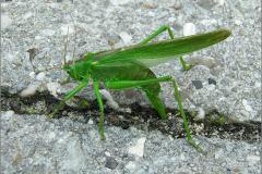 EI_0185_groene sabelsprinkhaan_tettigonia viridissima