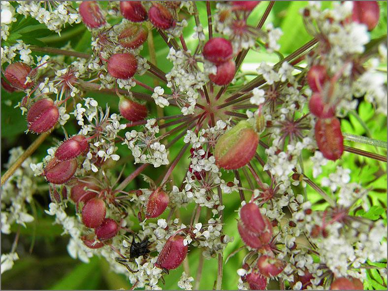 GAL_0059_scheerlingzaadgalmug op wilde peen_kiefferia pericarpiicola