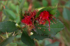 GAL_0040_bedeguaargal_diplolepis rosea
