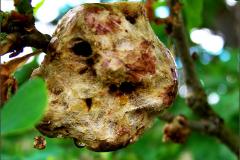 GAL_0052_aardappelgal_biorhiza pallida