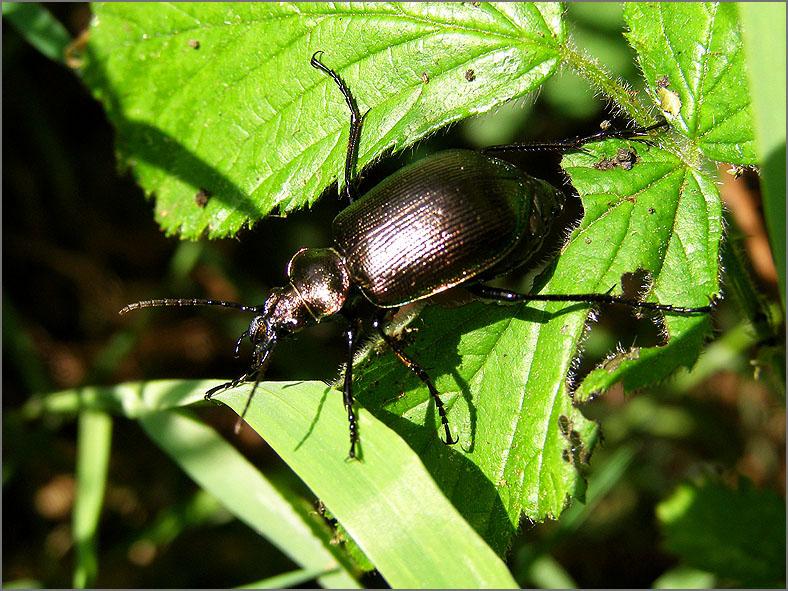 CARA_LOOP_0021_kleine poppenrover_calosoma inquisitor