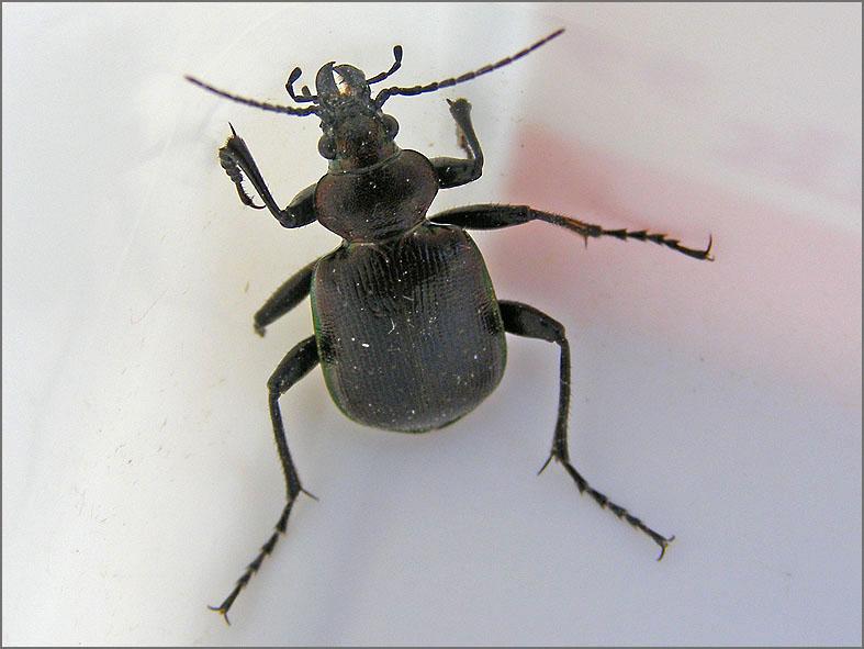 CARA_LOOP_0022_kleine poppenrover_calosoma inquisitor