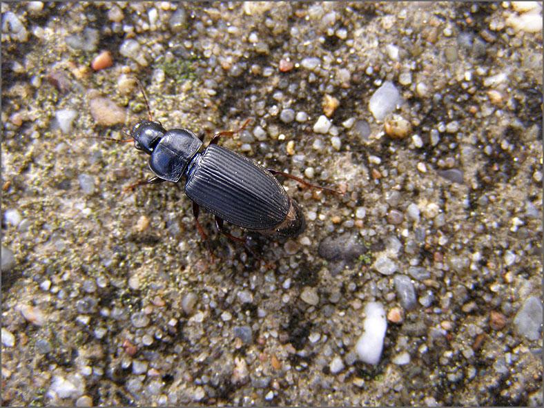 CARA_LOOP_0054_coleoptera sp