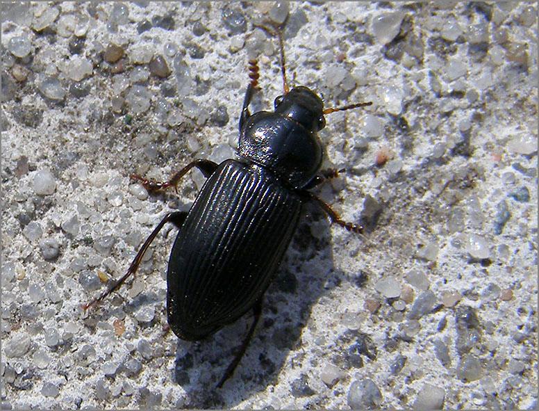 CARA_LOOP_0055_coleoptera sp
