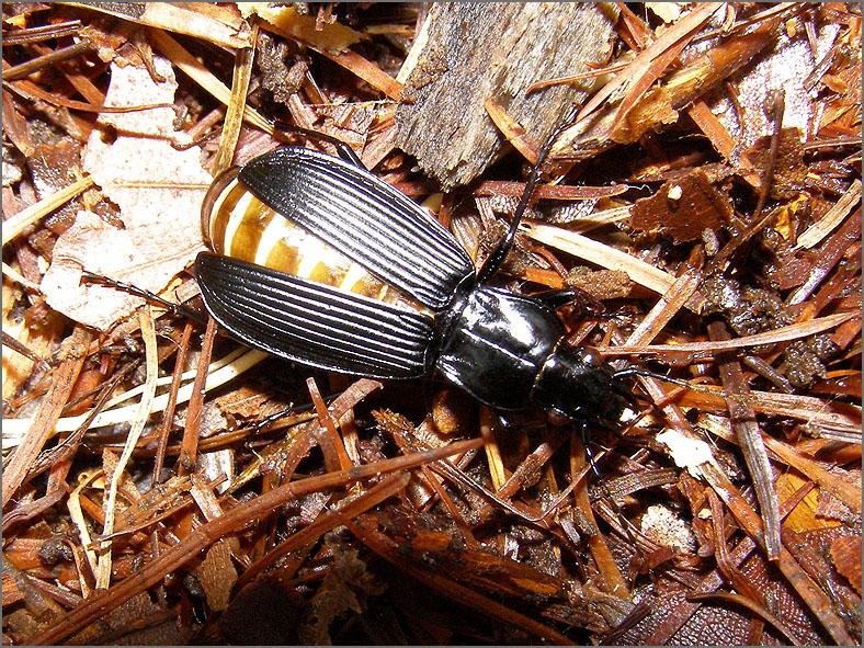 CARA_LOOP_0057_coleoptera sp