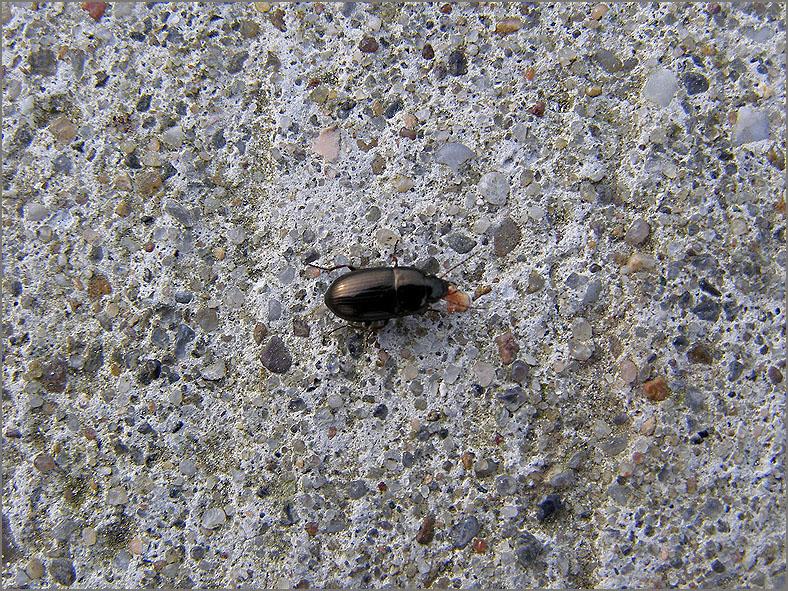 CARA_LOOP_0066_coleoptera sp
