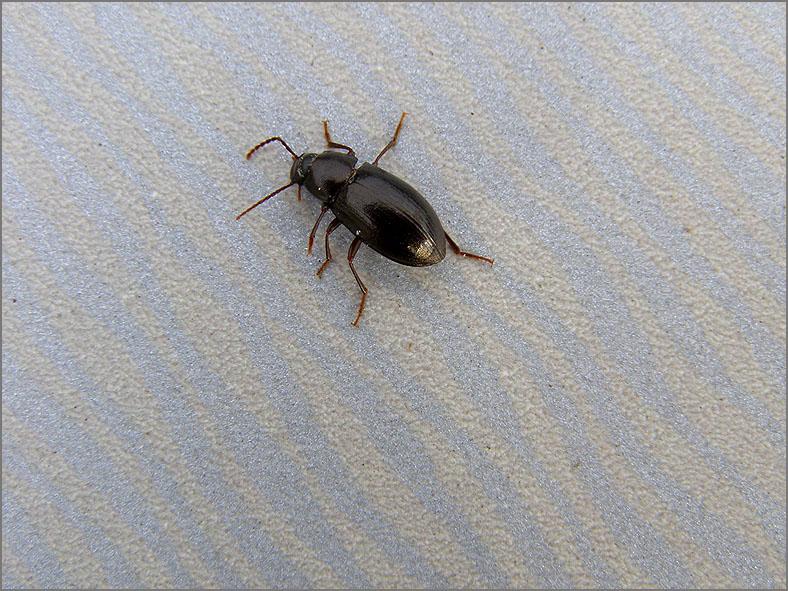 CARA_LOOP_0067_coleoptera sp
