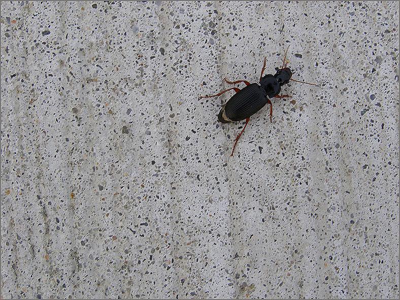 CARA_LOOP_0071_coleoptera sp