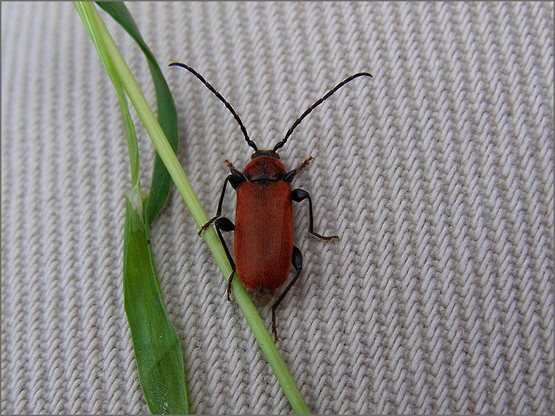 CERA_BOKT_0005_roodharige boktor_pyrrhidium sanguineum