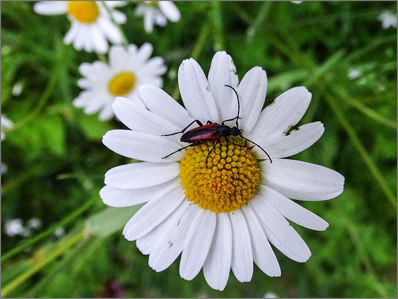 CERA_BOKT_0021 zwartpunt smalbok_stenurella melanura