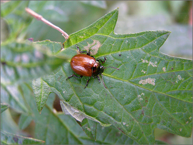 CHRY_BLDH_0032_chrysolina sp