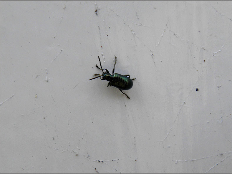 CHRY_BLDH_0037_oulema sp