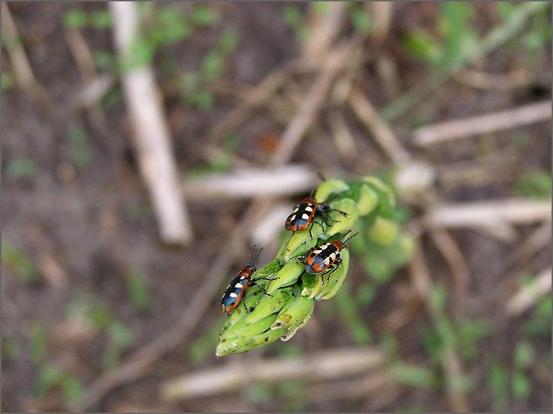 CHRY_BLDH_0050_aspergehaantjes_criocenis asparagi