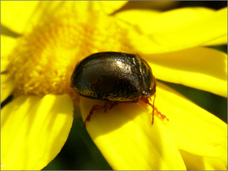 CHRY_BLDH_0114_chrysolina sp