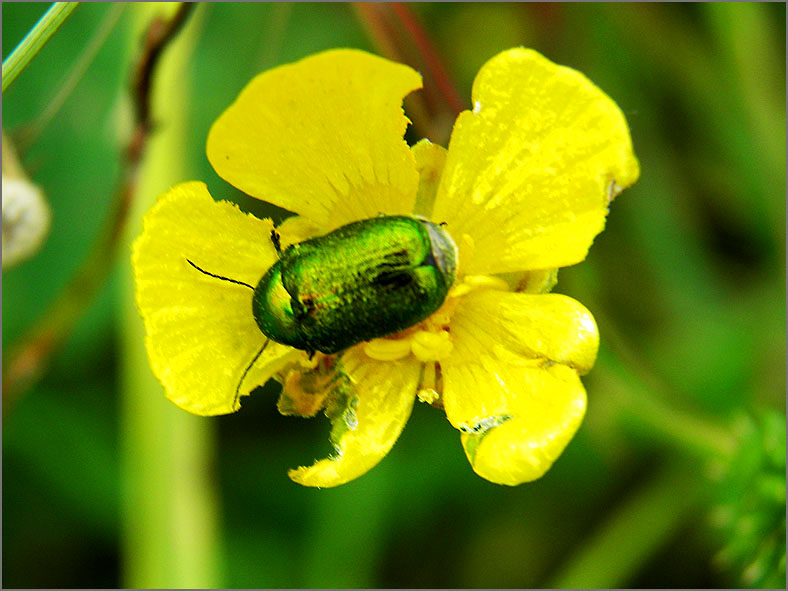 CHRY_BLDH_0122_chrysolina sp