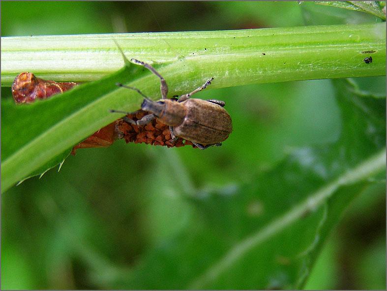 CURC_SNUIT_0015_curculionidae sp