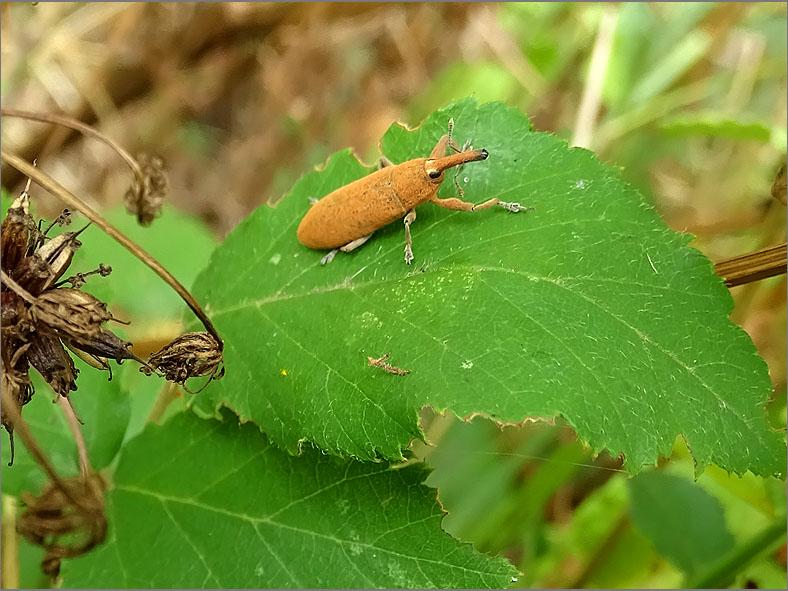 CURC_SNUIT_0028_coleoptera sp