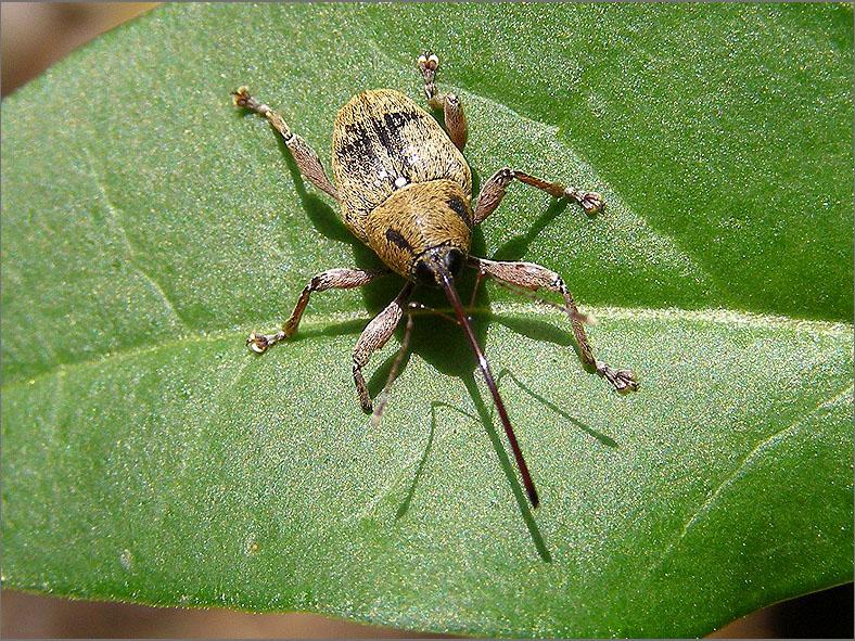CURC_SNUIT_0036_curculionidae sp