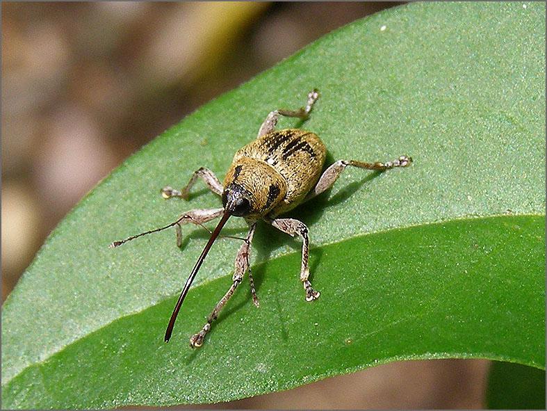 CURC_SNUIT_0037_curculionidae sp