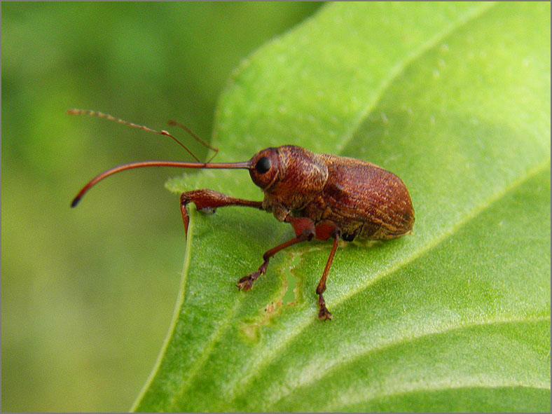 CURC_SNUIT_0041_curculionidae sp