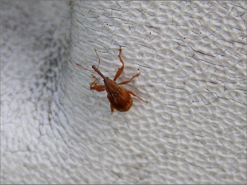 CURC_SNUIT_0045_curculionidae sp