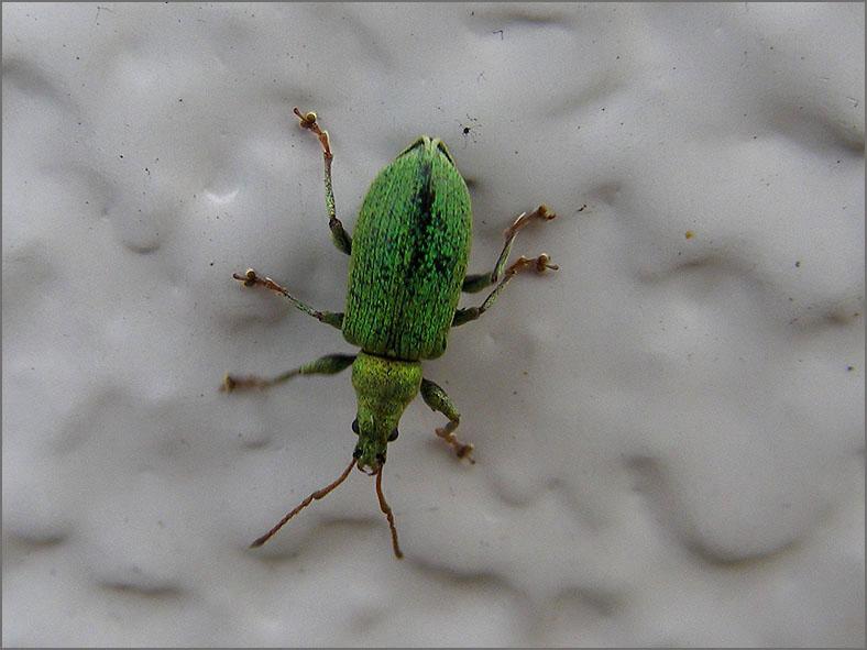 CURC_SNUIT_0050_groene snuitkever_phyllobius argentatus
