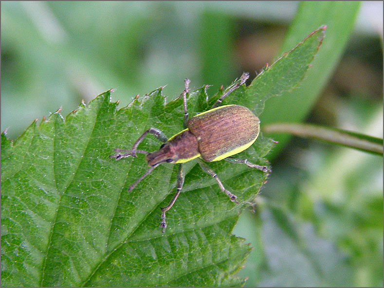 CURC_SNUIT_0051_groene snuitkever_phyllobius argentatus