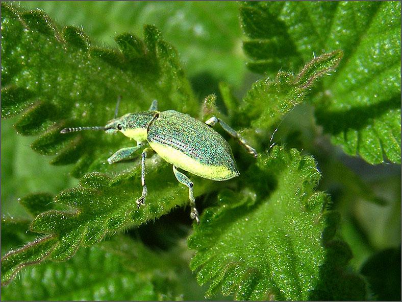 CURC_SNUIT_0052_groene snuitkever_phyllobius argentatus