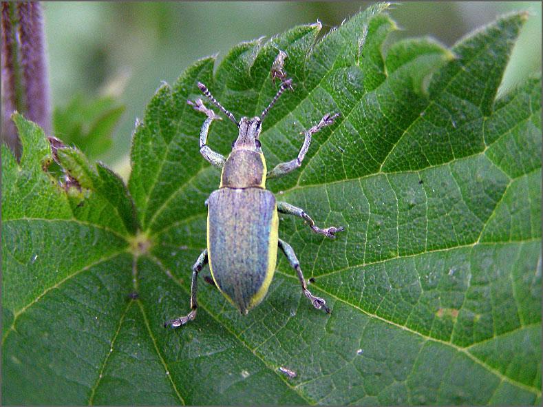 CURC_SNUIT_0054_groene snuitkever_phyllobius argentatus