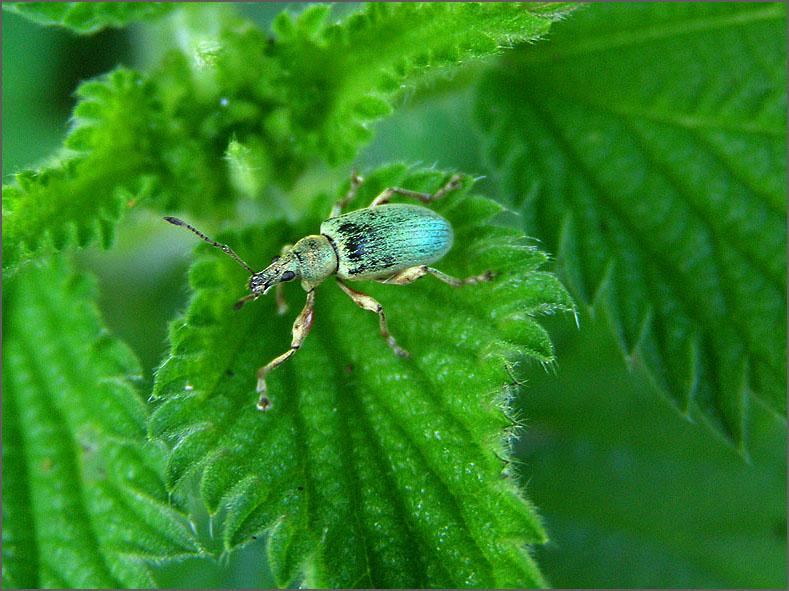 CURC_SNUIT_0055_groene snuitkever_phyllobius argentatus