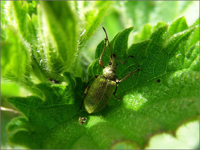 CURC_SNUIT_0056_groene snuitkever_phyllobius argentatus