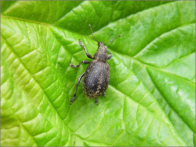 CURC_SNUIT_0070_curculionidae sp