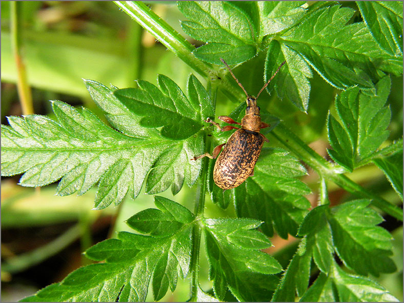 CURC_SNUIT_0076_curculionidae sp