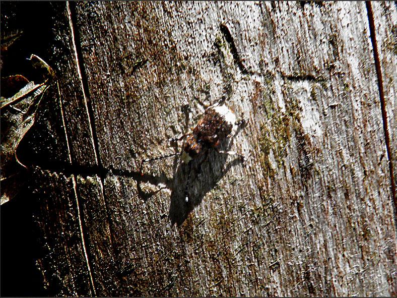 CURC_SNUIT_0081_boksnuittor_platystomos albinus