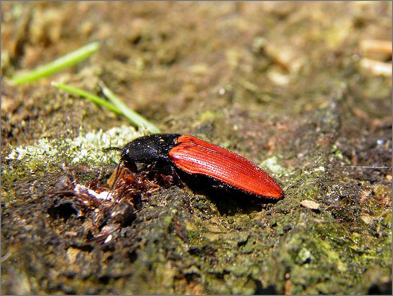 ELAT_KNIP_0021_bloedrode kniptor_ampedus sanguineus