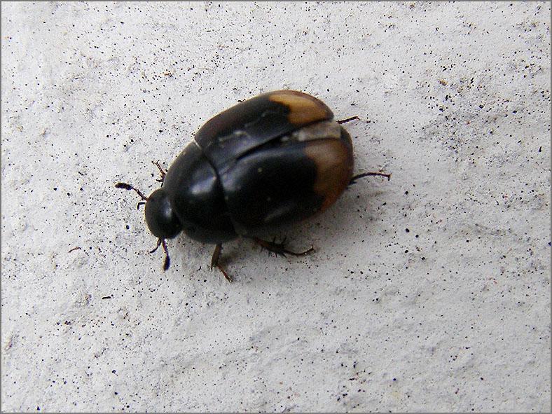 HYDR_ZWEM_0002_mestzwemtor_sphaeridium scarabaeoides