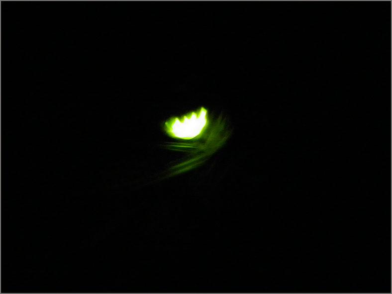 LAMP_GLIM_0008_grote glimworm_♀_lampyrus noctiluca