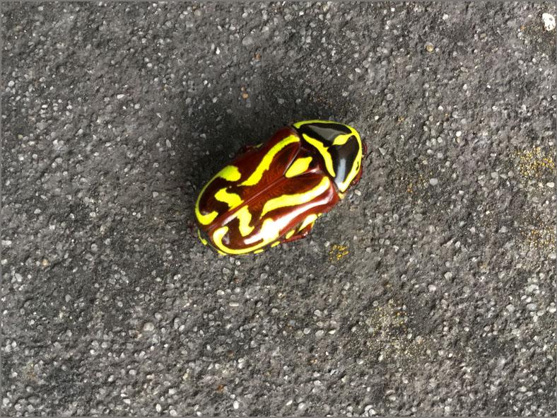 SCAR_BLDS_Australië_0001_fiddler beetle_eupoecila australasiae