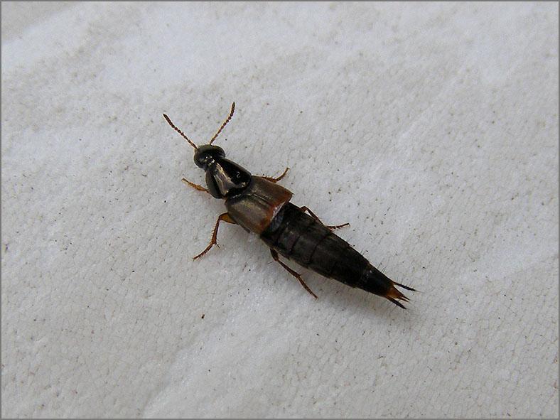 STAP_KRTS_0010_kortschildkever_staphylinidae sp