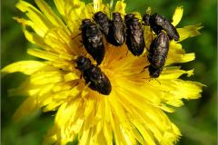 BUPR_0001_prachtkever_buprestidae sp