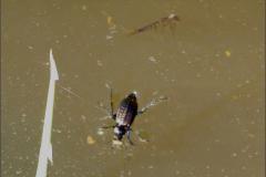 CARA_LOOP_0016_zwemmende schalebijter_carabus clathratus