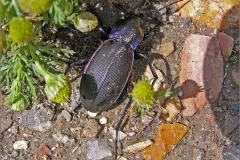 CARA_LOOP_0026_violette loopkever_calosoma inquisitor
