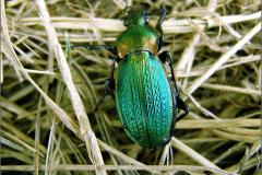 CARA_LOOP_0036_graslandschalebijter_carabus monilis