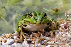 KIK_0005_groene kikker_pelophylax ridibundus