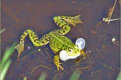 KIK_0006_groene kikker_pelophylax ridibundus